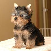 Adorable Male And Female Yorkie Puppies Available Now